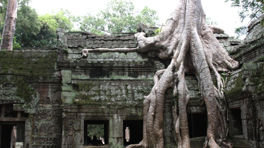 Cambodia: Angkor Tree