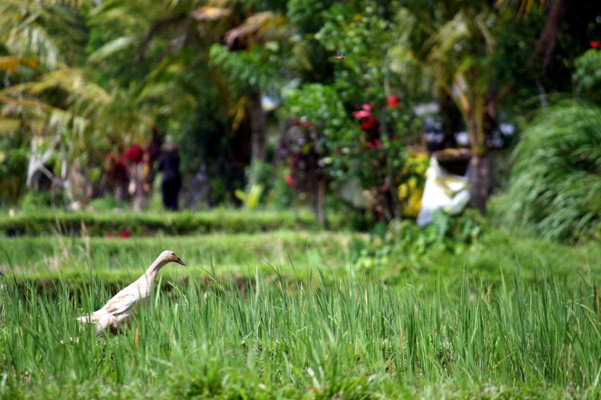 Bali: Ubud ricefield