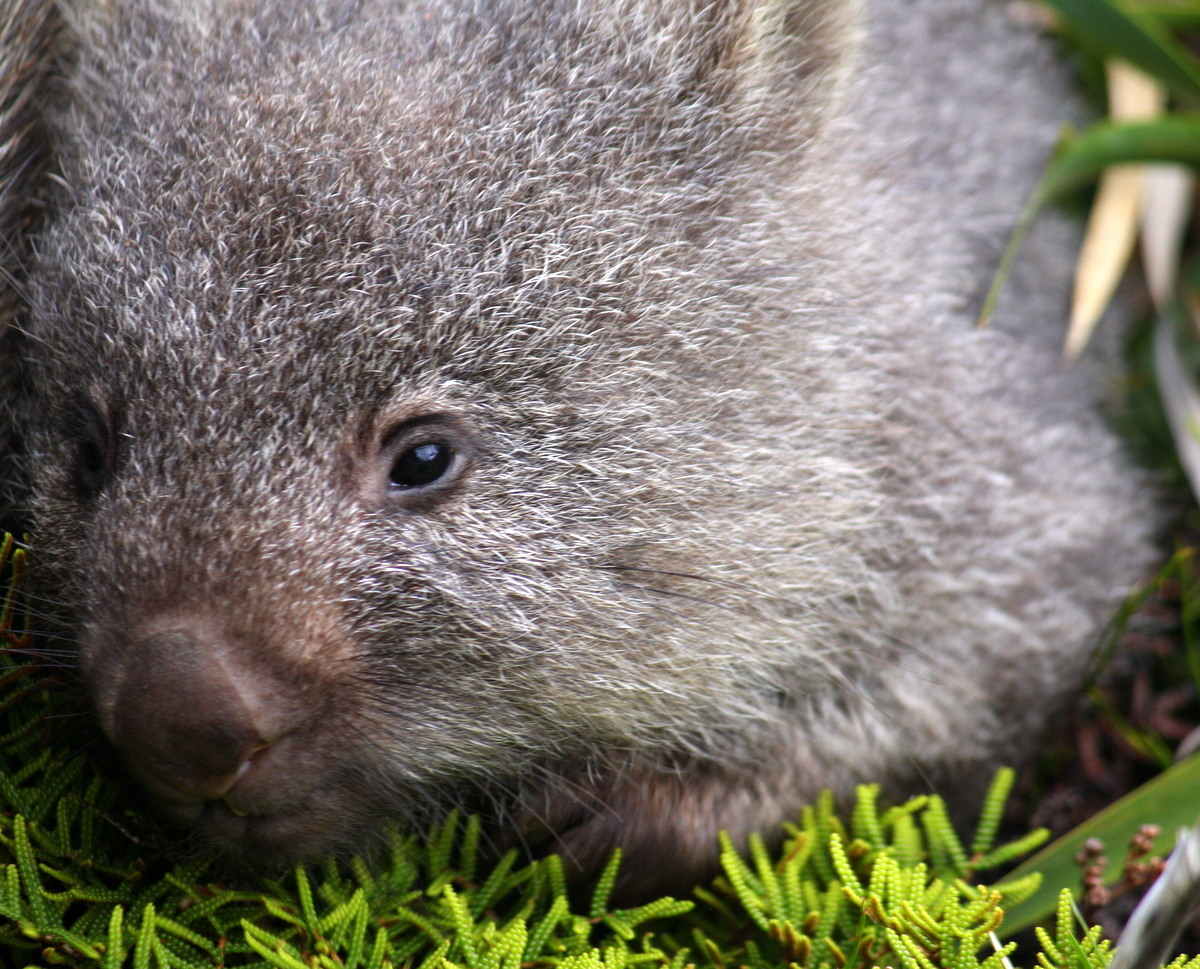 Close up of Baby Wombat