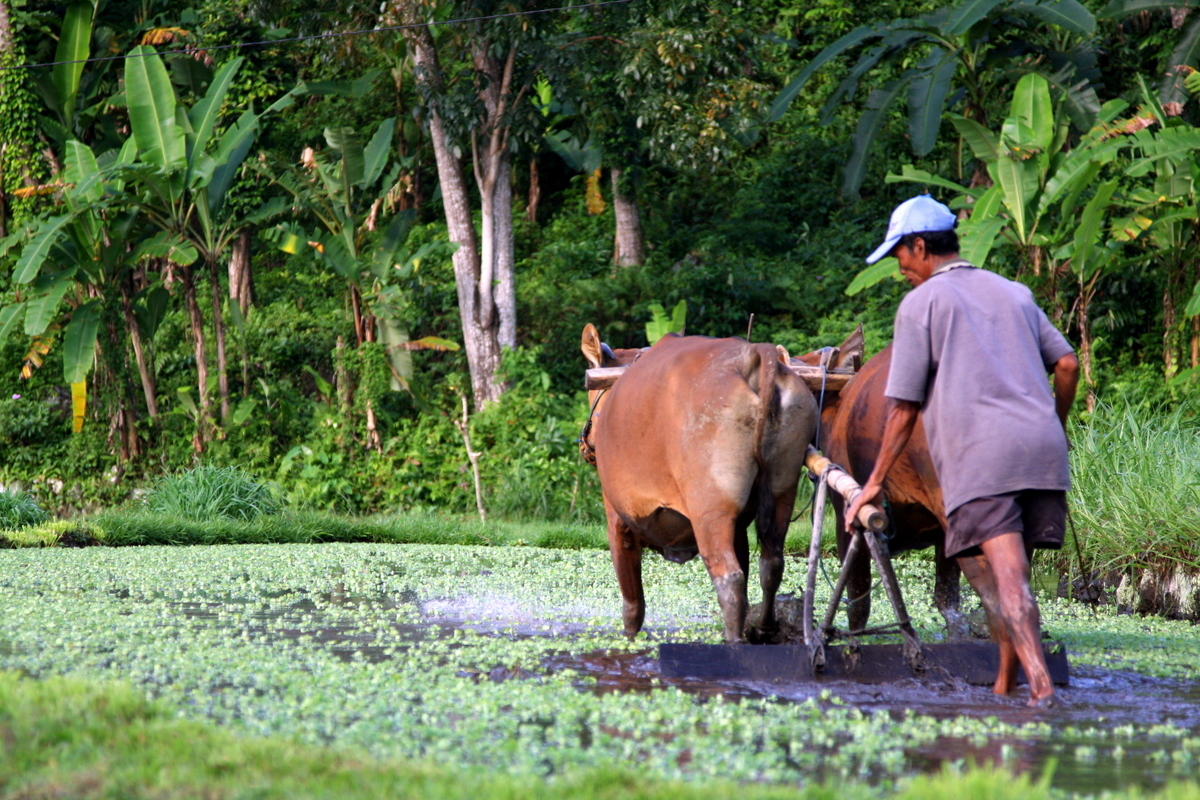 Ploughing the Rice Field with a Cow