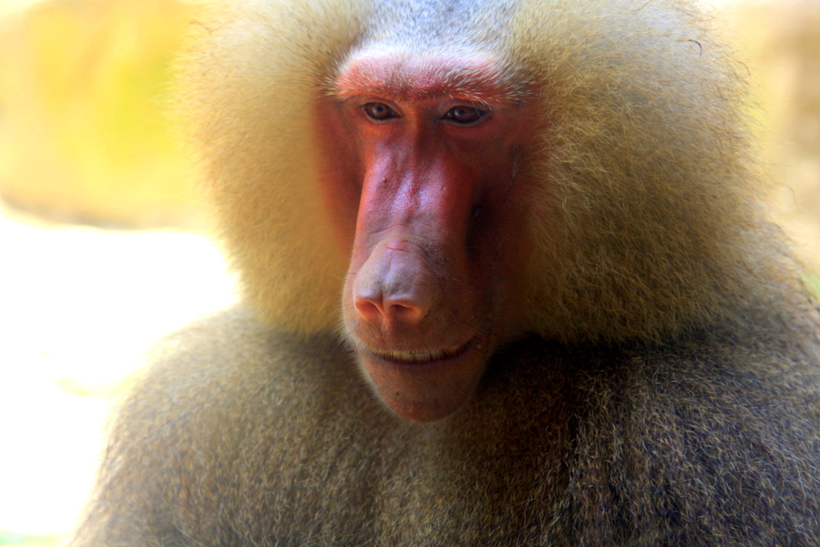 Hamadryas Baboon at Singapore Zoo