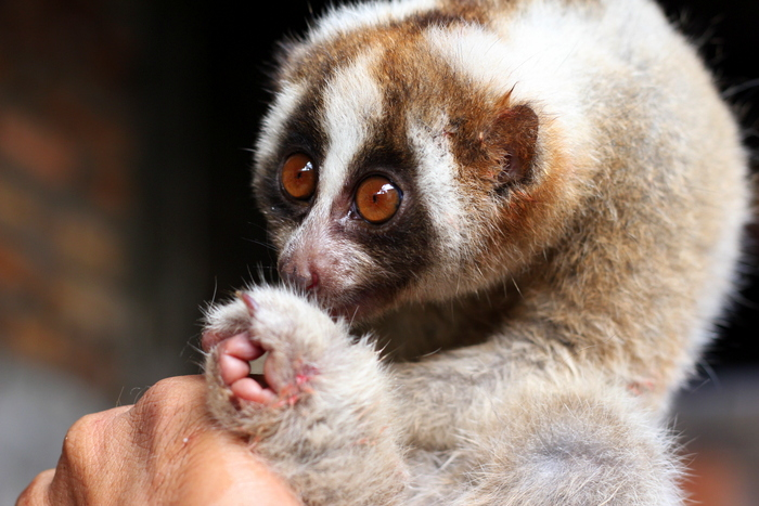 What a cute Javan Slow Loris