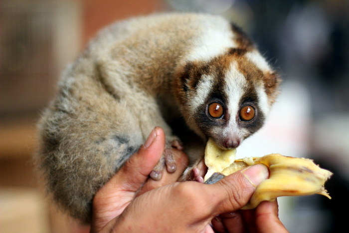 The slow loris is hungry!
