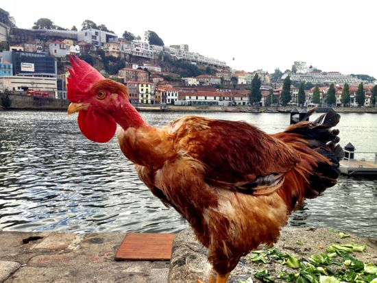 A Portuguese chicken. That's pretty Portuguese, right?
