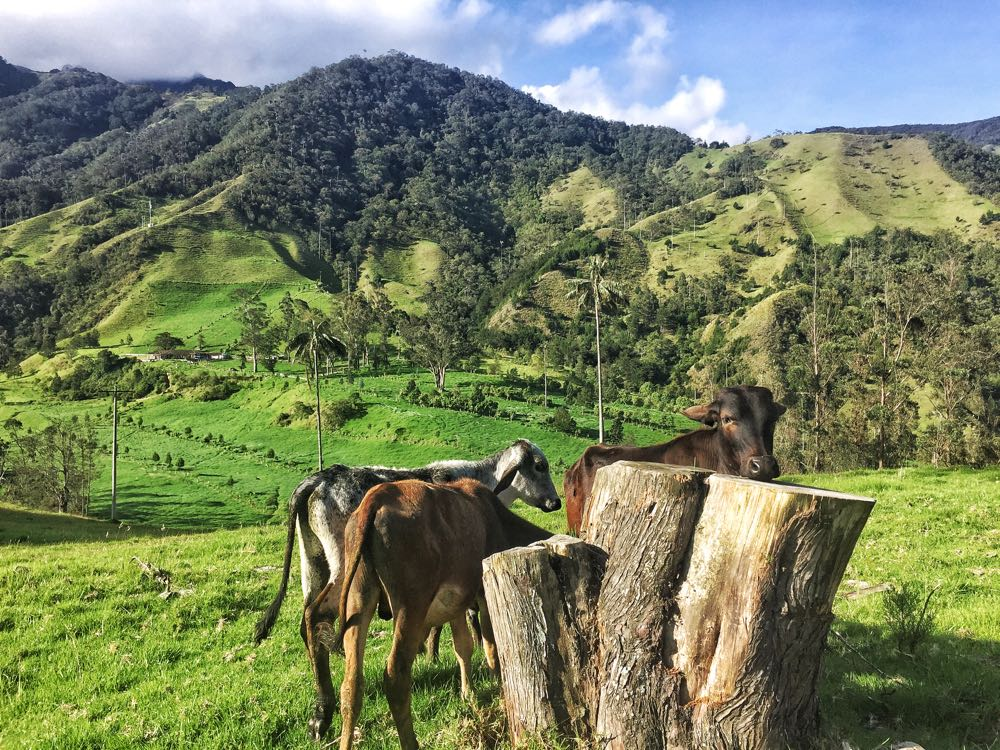 Cocora Valley cows