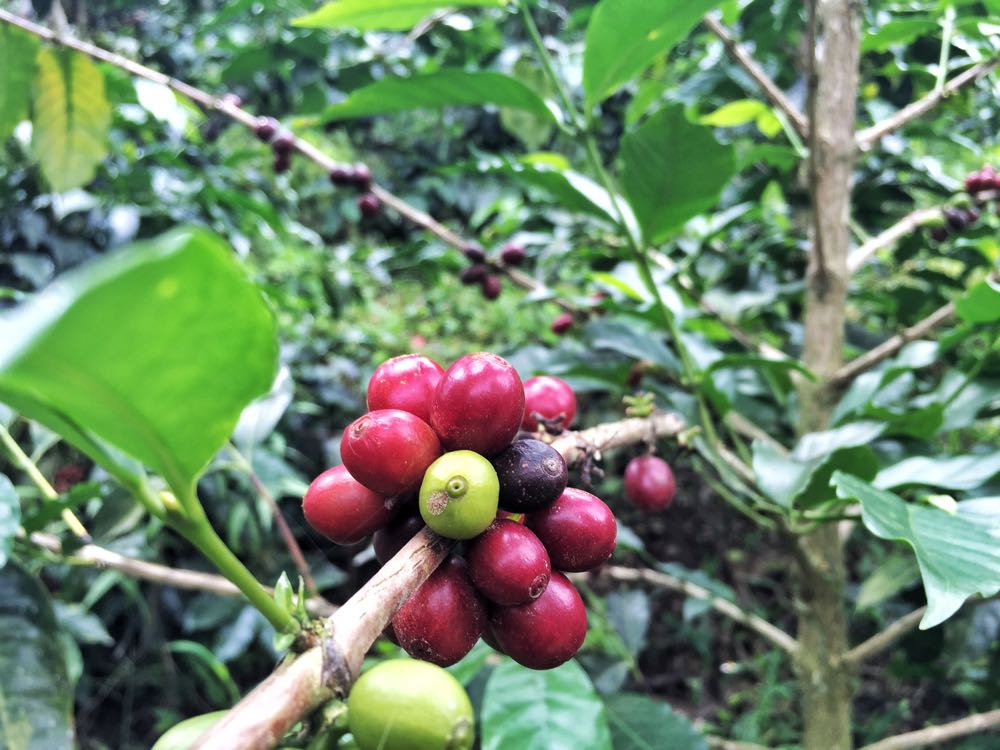 coffee cherries salento