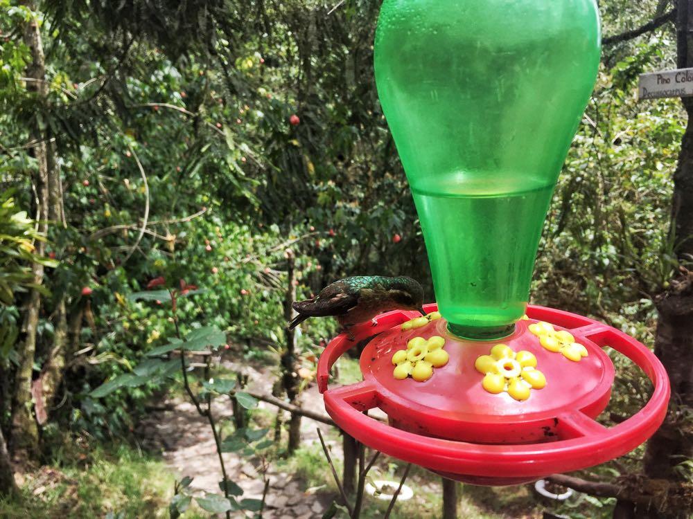 hummingbird acaime