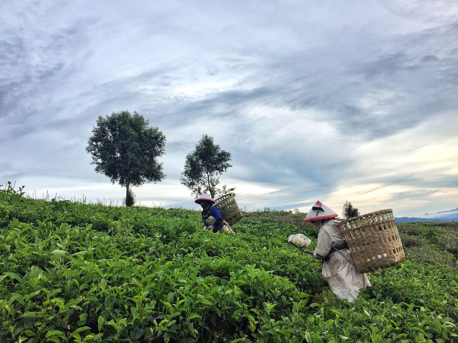 Pagar Alam Tea Pickers