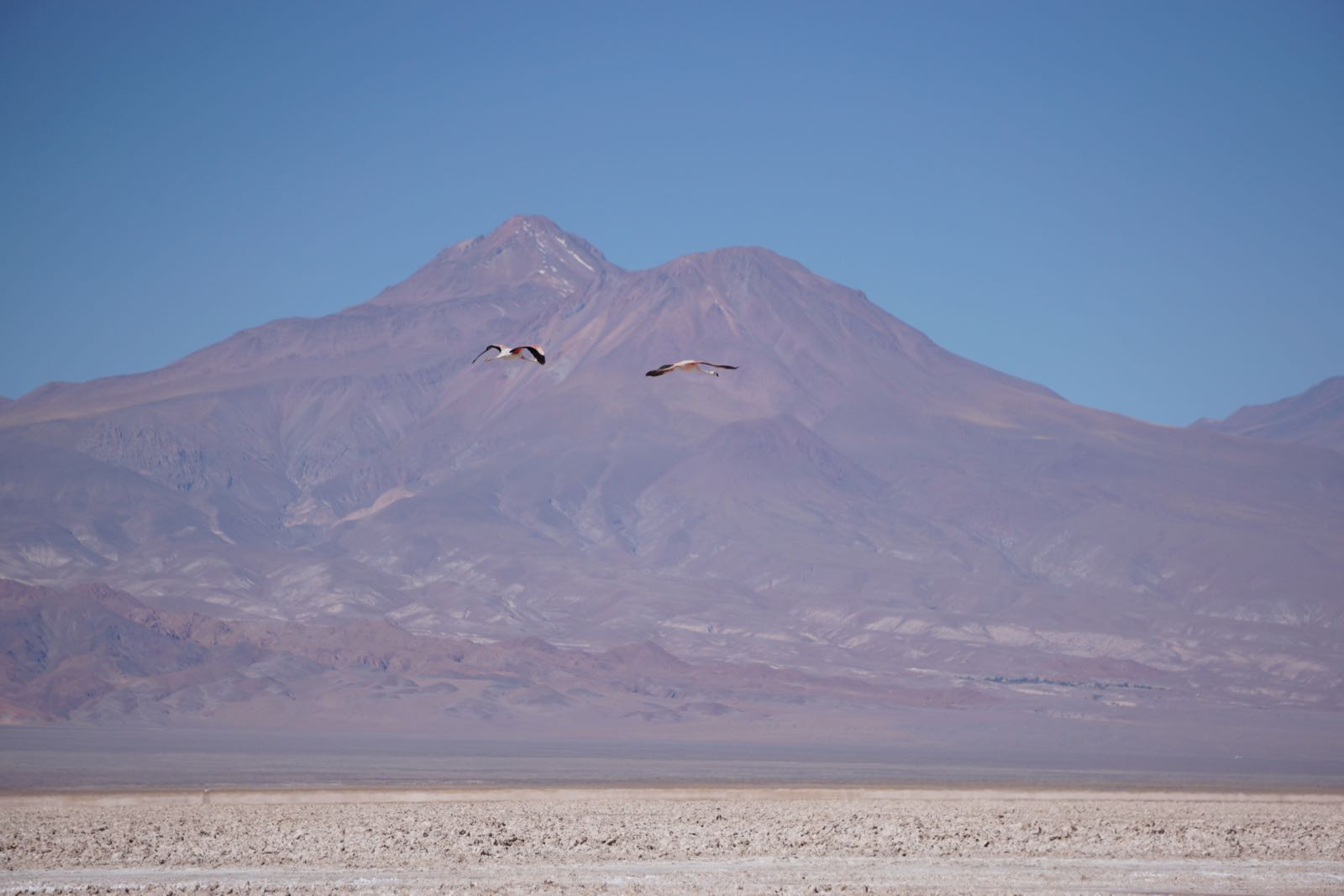 san pedro de atacama flamingoes flying