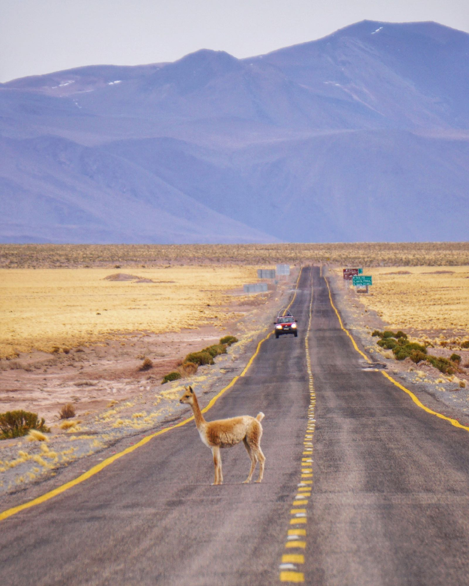 san pedro de atacama vicuna on the road