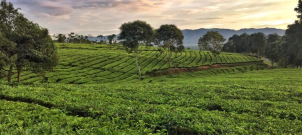 Pagar Alam Tea Plantation